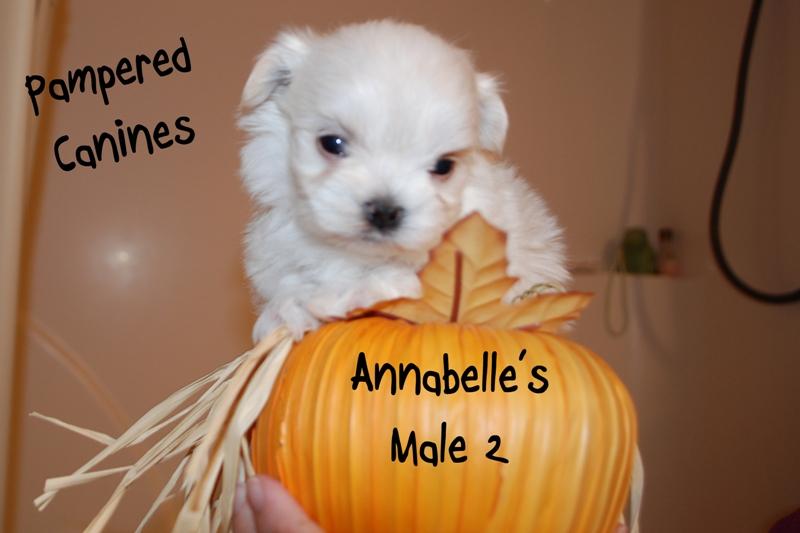 Annabelle-Male-2b.jpg