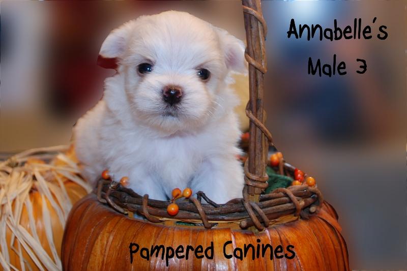 Annabelle-Male-3b.jpg
