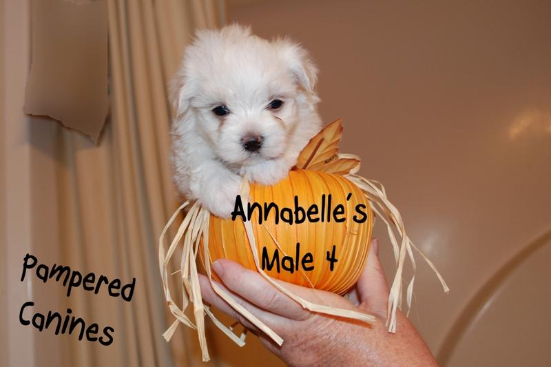 Annabelle-Male-4b.jpg