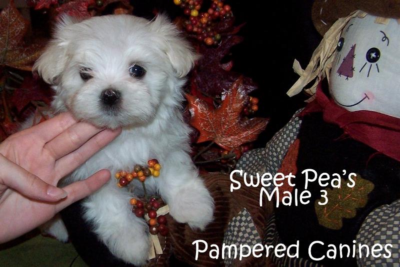sweet-peas-male-3.jpg